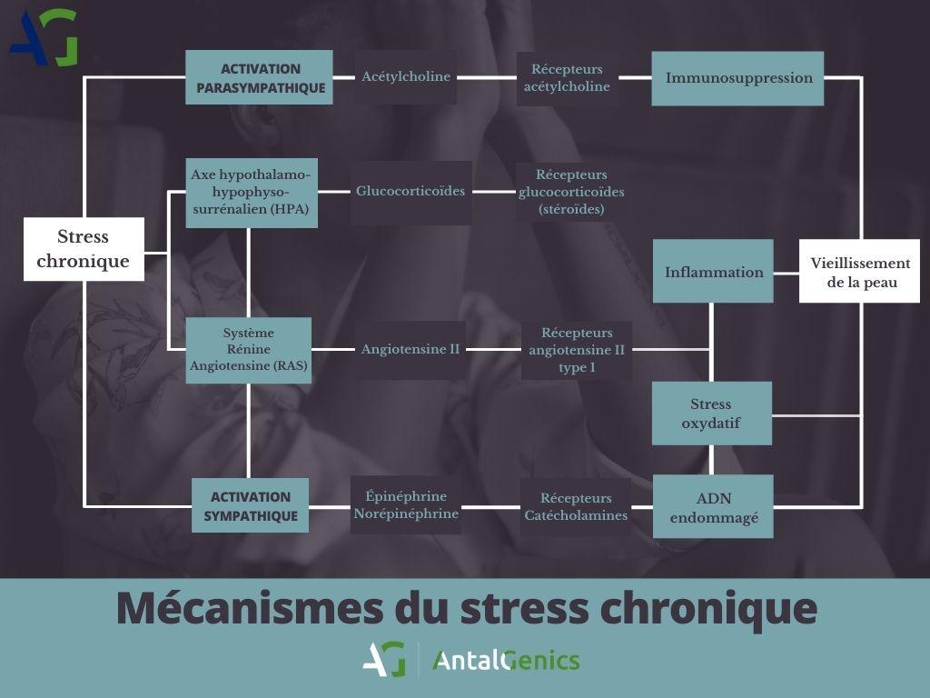 Macanisms du stress cronique