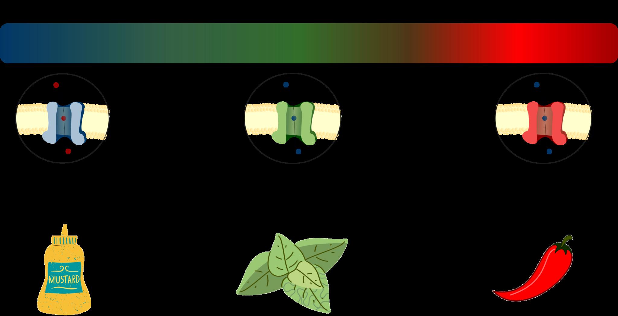 Termorreceptores canales TRP